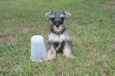 Covington Miniature and Toy Schnauzer puppies