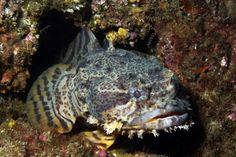 """Do you know how the """"splendid toadfish"""" got its name?"""