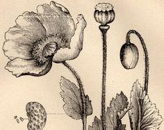 botanical poppy drawing - Google Search