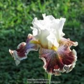 Tall Bearded Iris (Iris 'Wonders Never Cease') in the Irises Database - Garden.org