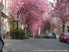 KirschblüteinderHeerstraße, Altstadt, Bonn