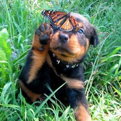 I'd love a rottie too <3