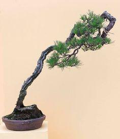 Literati Bonsai from the Zhongguo Feng Penjing Exhibition Pine Bonsai, Juniper Bonsai, Bonsai Art, Bonsai Plants, Bonsai Garden, Bonsai Trees, Conifer Trees, Deciduous Trees, Little Plants