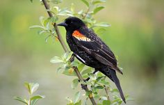 Burnaby Lake is a good place to go in the spring to see Red Winged Blackbirds. Red Wing Blackbird, Blackbirds, National Geographic Photos, Your Shot, Amazing Photography, Places To Go, Spring, Food, Essen