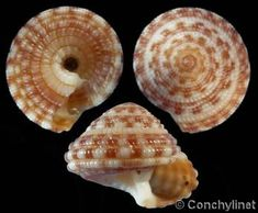 Heliacus_variegatus ~~ For more: - ✯ http://www.pinterest.com/PinFantasy/ciencia-~-conchas-y-f%C3%B3siles-shells-and-fossils/
