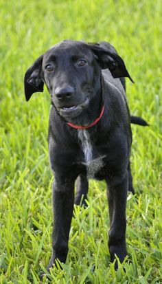 Lucian is a young Lab mix puppy. He has a beautiful glossy coat. He is a little shy, but he loves to play and gets along with other dogs. Lucian is a sweet dog who would be a great addition to any household.