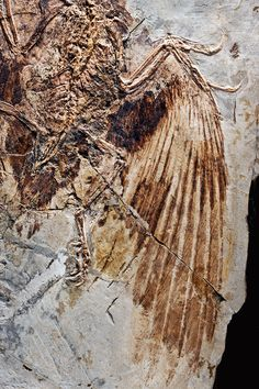 This fossil of Confuciusornis, a group of bird predecessors that lived more than 100 million years ago, was discovered in China's Liaoning Province. Photo: Robert Clark