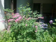 Tränendes Herz rosa in meinem Garten