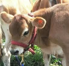 Megan here's your mini cows! Ten Miniature Cattle Breeds for your Small Farm Beautiful Creatures, Animals Beautiful, Farm Animals, Cute Animals, Miniature Cattle, Mini Cows, Mini Farm, In This World, Baby Cows