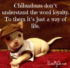 Chihuahua Quotes, Chihuahua Puppies, Dog Quotes, Cute Puppies, Cute Dogs, Dogs And Puppies, Doggies, Beautiful Dogs, Animals Beautiful