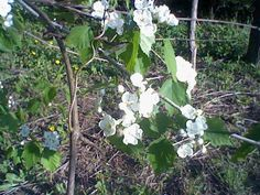 Apple blossoms in the old orchard
