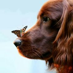 Butterfly on a dog's nose.