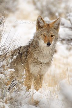 I often feel like I'm part coyote. Found often in the desert and mountains, a predator but not as glorified as the wolf, and a scrounger often bumming food from other folks. hehe