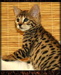 Savannah Kitten - Spoil your kitty at www.coolcattreehouse.com
