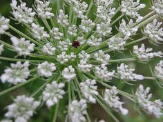 queen anne's lace flowers #AmyLauDesign #inspiration #nature