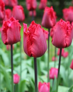 Fringed Tulip 'Red Hat'