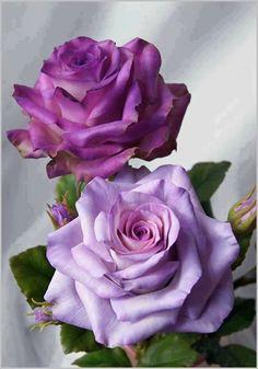 beautiful purple roses