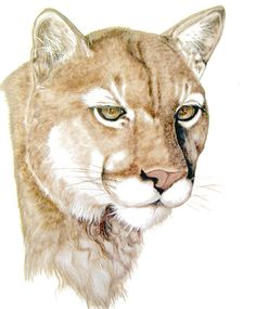 fe7090532188b 97 Best Mountain lions images in 2019 | Animals, Big cats, Animals ...