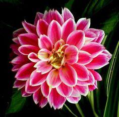 beautiful dahlias | Dahlia... beautiful