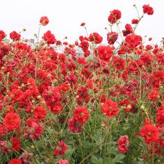"""Blazing Sunset double red geum flowers in a field. Perennial. 12"""" apart, 1/2 bed along with yellow Geum Lady Stradheden."""