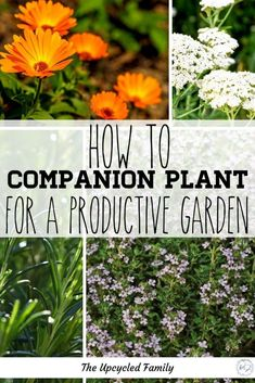 Want to know what to plant to give your garden that supercharging boost? Here are 8 amazing companion planting herbs that will boost everything else. From pest control to attracting pollinators. #companionplanting #vegetables #garden #herbs #tomatoes Planting Raised Garden Beds, Garden Plants, Starting A Garden, Seed Starting, Gardening For Beginners, Gardening Tips, Homestead Gardens, Fall Vegetables, Herbs For Health
