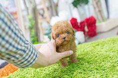 Poodle Puppies for sale, Poodle Puppies for sale near me, toy poodle puppies for sale, teacup poodle puppies for sale, teacup poodle puppies for sale near me, poodle for sale near me, poodle puppies for sale in USA, mini toy poodles near me, adopt poodle near me poodle dogs near me. Teacup Poodles For Sale, Teacup Poodle Puppies, Miniature Puppies, Poodle Puppies For Sale, Tea Cup Poodle, Teddy Bear Poodle, Real Beauty, Toys, Toy Poodles