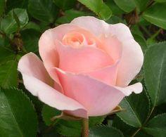 ~'Pretty Lady' rose