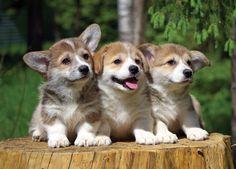 Eenie Meenie Miney Mo, pick a corgi pup to go! | Adorable Pembroke Welsh Corgi puppies via Flickr - Photo Sharing! © Galina migalka
