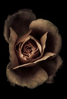 Chocolate Rose - Black background
