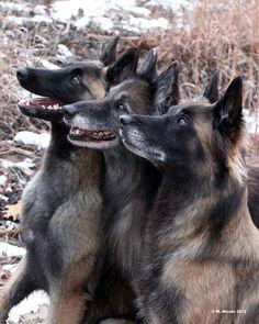 Paige, Tilt, and Amp - Belgian Tervurens Wonderful dogs! Belgian Dog, Belgian Malinois Dog, Dutch Shepherd Dog, Belgian Shepherd, Big Dogs, I Love Dogs, Berger Malinois, Animals And Pets, Cute Animals