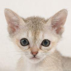 best singapuran kitten / kitty pictures and photos ideas - most affectionate cat breeds Cornish Rex, Devon Rex, Crazy Cat Lady, Crazy Cats, Singapura Cat, North American Animals, Abyssinian, Cute Cats, Adorable Animals