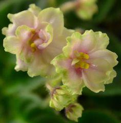 Sugar Crystals African Violet Flowers