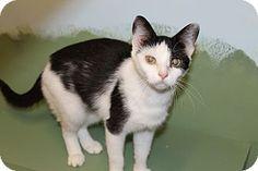 Medina, OH - Domestic Shorthair. Meet Emily, a cat for adoption. http://www.adoptapet.com/pet/13059321-medina-ohio-cat