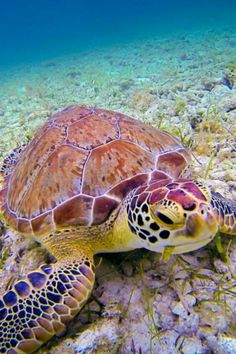 Underwater Friend by Cary Quinn on , turtle sea ocean Beautiful Creatures, Animals Beautiful, Cute Animals, Animals Sea, Endangered Sea Animals, Colorful Animals, Colorful Fish, Nature Animals, Beautiful Children