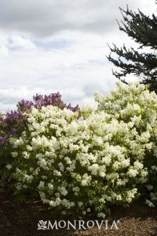 Angel White Lilac (Syringa vulgaris Angel White (Descanso Hybrid)) -Fast grower to 12 ft. tall, 10 ft. wide, partial to full sun