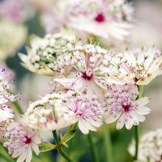 Astrantia Major, Dahl, Garden Accessories, Hacks Diy, Amazing Flowers, Garden Planning, Garden Projects, Contemporary Style, Perennials