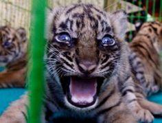 Public can view rare female Sumatran tiger cub at SF Zoo - San Francisco - Animals San Francisco Zoo, Tiger Cub, Cubs, Cute Animals, Public, Female, Pretty Animals, Bear Cubs, Cutest Animals