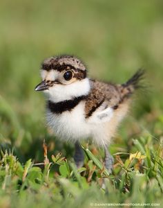 A baby killdeer, one day old.