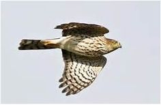 Sharp-shinned Hawk, Identification, All About Birds - Cornell Lab of ...