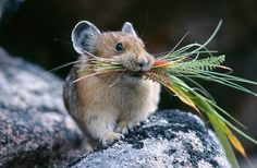 Not a hamster, but a pika. they are related to rabbits.