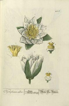 img/gravures anciennes de plantes medicinales/nymphaea alba -.jpg