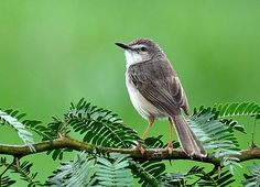 HubPages - The Ashy Wren Warbler