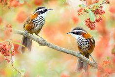 ~ Taiwan Scimitar-babbler ~ - 鳥類名稱 Bird Name: Taiwan Scimitar-babbler   台灣小彎嘴 (竹腳花眉)  學名 Scientific Name:  Pomatorhinus musicus.     科名 Family: 畫眉科(Timaliidae).  圖像大小 Image Size : 6000x4000 pixel My Facebook page : https://www.facebook.com/fuyi.chen.9