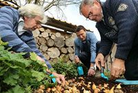 JUB Holland is de grootste bloembollen kweker van Nederland. Door onze meer dan 100 jaar ervaring in de ontwikkeling, productie en export van bloembollen hebben wij het predicaat Hofleverancier verdiend. Als Nederlands grootste bloembollen kweker telen wij ongeveer 30 verschillende soorten tulpen en 15 soorten narcissen.