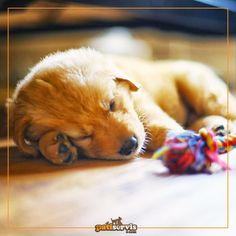 Köpekler genellikle bir oyuncağı seçip hep onunla oynamak ister. Sizin can dostunuzun en sevdiği oyuncak hangisi? Dostunuzun eskiyen oyuncaklarını yenileyin: goo.gl/xGZf6a