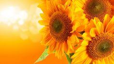 Fond d'écran Orange Sunflowers - Fonds d'écran et photos de qualité - wallpapers…