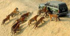 Tigres tratando de atacar un auto