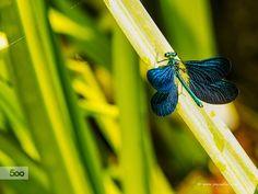 Photo Libelula by Juan Mario on 500px