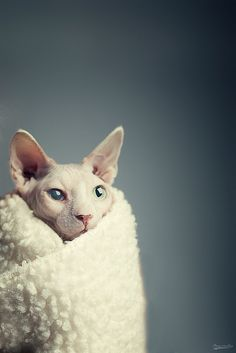I'd make a sphinx kitty little sweaters and boots. Aw!