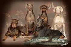 Owned and bred all colors except the albino; had blk/rust, red/rust, blue/rust, fawn/rust. All were so beautiful and great companions. Doberman Pinscher Blue, Doberman Love, Rottweiler Funny, Rottweiler Mix, Weimaraner, Animals For Kids, Cute Animals, Black And Tan Terrier, German Dog Breeds